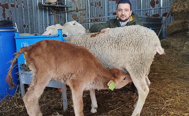 Kocaeli'de buzağıyı emziren koyun görenleri şaşırtıyor